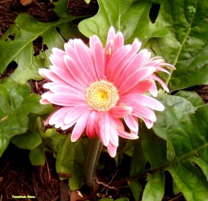 Te flower.jpg