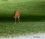 White-tailed-deer.jpg