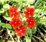 red-flowers.jpg