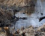 geese-marsh.jpg
