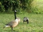 goose-on-patrol.jpg