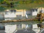 egret and turtle