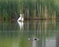 Love birds, these Egrets