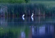 egrets fishing in tandem