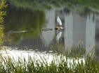 Egret-on-pond1
