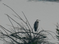 Blue-Heron-on-Wood1.jpg