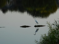 Egret-walking1.jpg