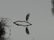 Great-Heron1.jpg