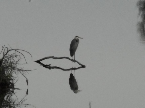 Great-Heron1.jpg
