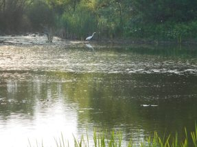 lurching forward-heron.jpg
