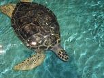 Lucinda -Green desert Turtle