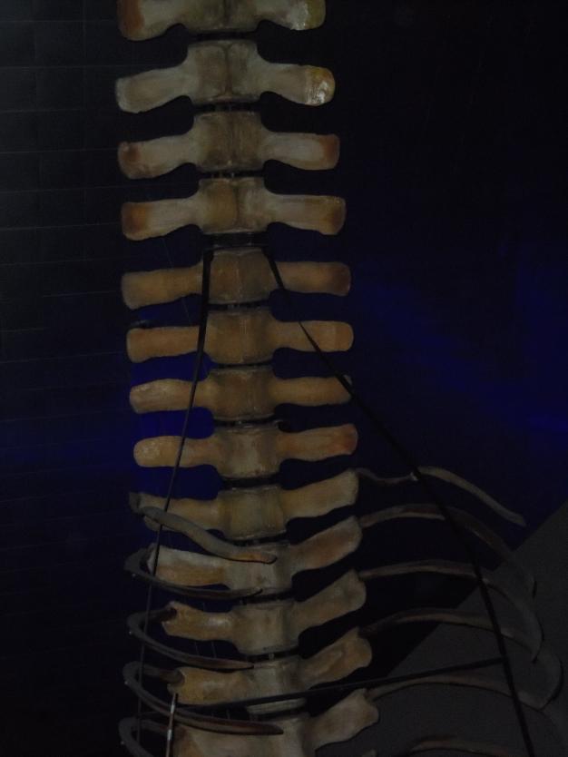 https://echopen.files.wordpress.com/2016/06/whale-skeleton-bone.jpg