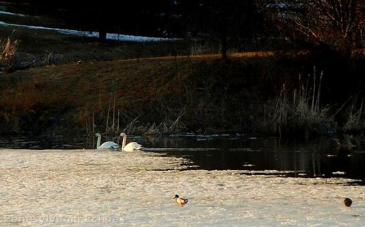 swans-near-ice1