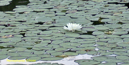 lilly-pad-blooming
